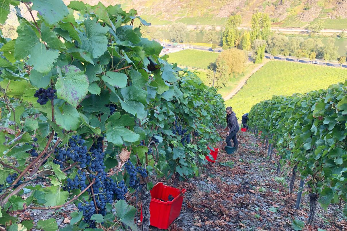 Weinlese in der Steillage vom Weingut Ebernach